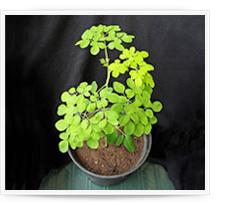 Cultivo de Moringa oleifera en maceta