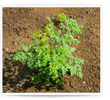 Cultivo de Moringa oleifera en el suelo