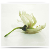 Flor de Moringa Oleifera